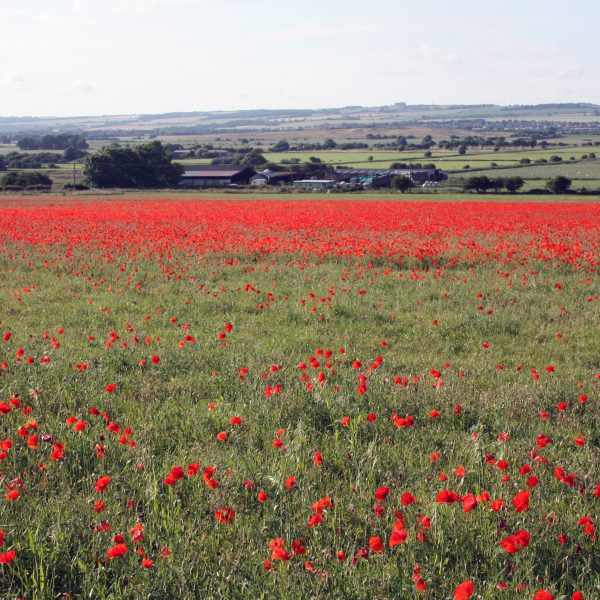 A Nearby Poppy Meadow